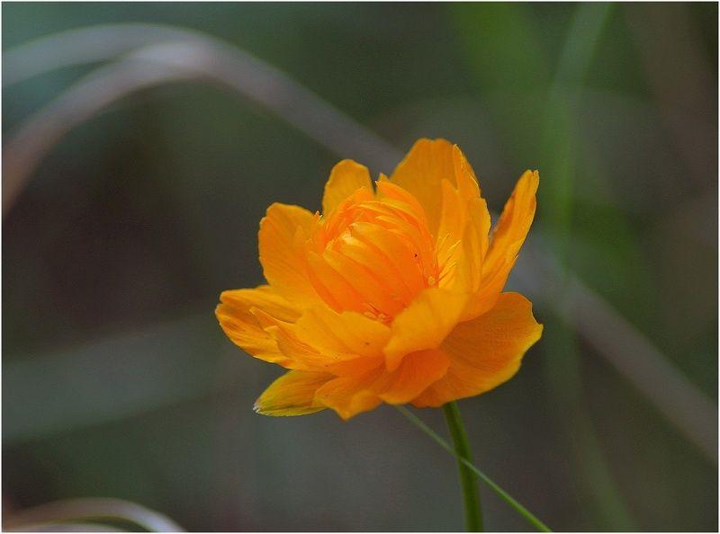 Таймыр,июль,цветы Северная розаphoto preview