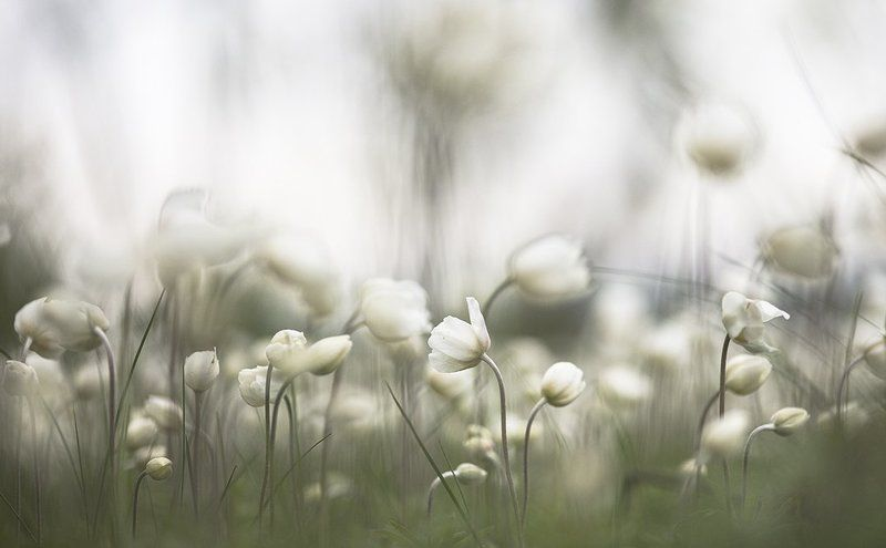 ветреница, свет, краски, цветок, цвет, весна, позитив, воронеж Дети ветров...photo preview