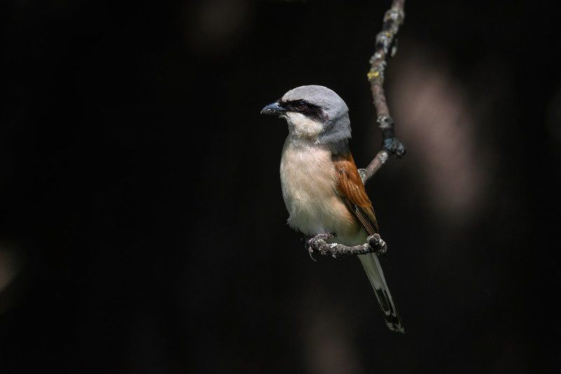 сорокопут, жулан, птицы, животные, анималистика Сорокопут-жуланphoto preview