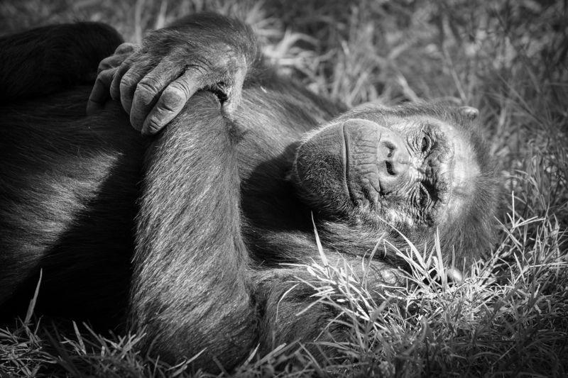 Шимпанзеphoto preview