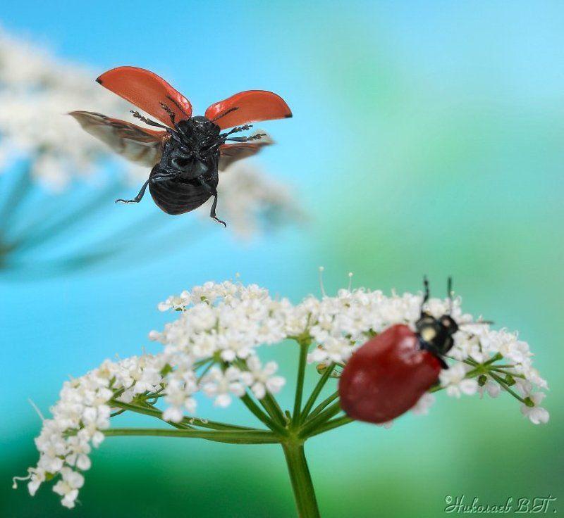 листоед, полет, лето - Превед!photo preview