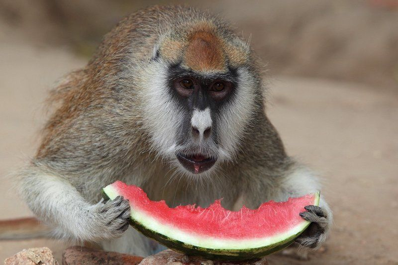 мартышка, обезьяна, африка, судан, дарфур, арбуз Мартышка и арбузphoto preview