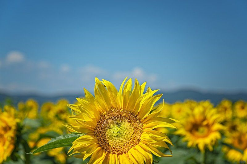 close-up, clouds, color, colorful, colors, color image, glow, image, landscape, macro, mountain, nature, natural light, photography, plant, plants, skies, sunflower, sunflowers, yellow, Sun Trackersphoto preview