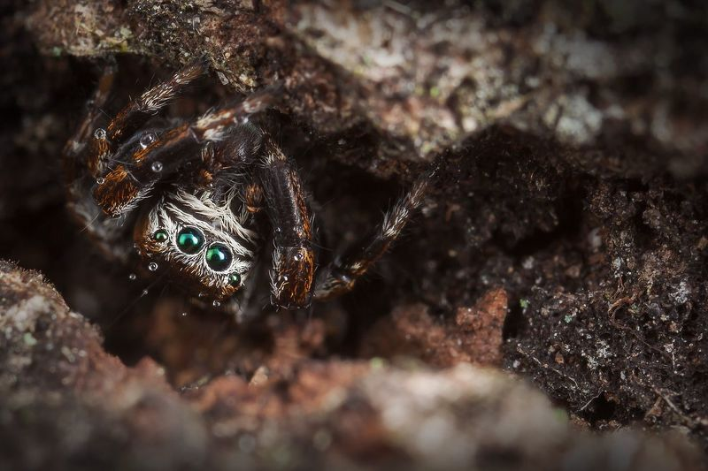 паук, скакун, макро, маскировка, кора, тьма, Mаскировкаphoto preview