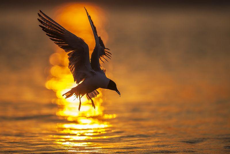 Озёрная чайка.photo preview