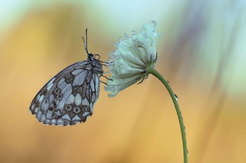 галатея, бабочка, макро ***photo preview
