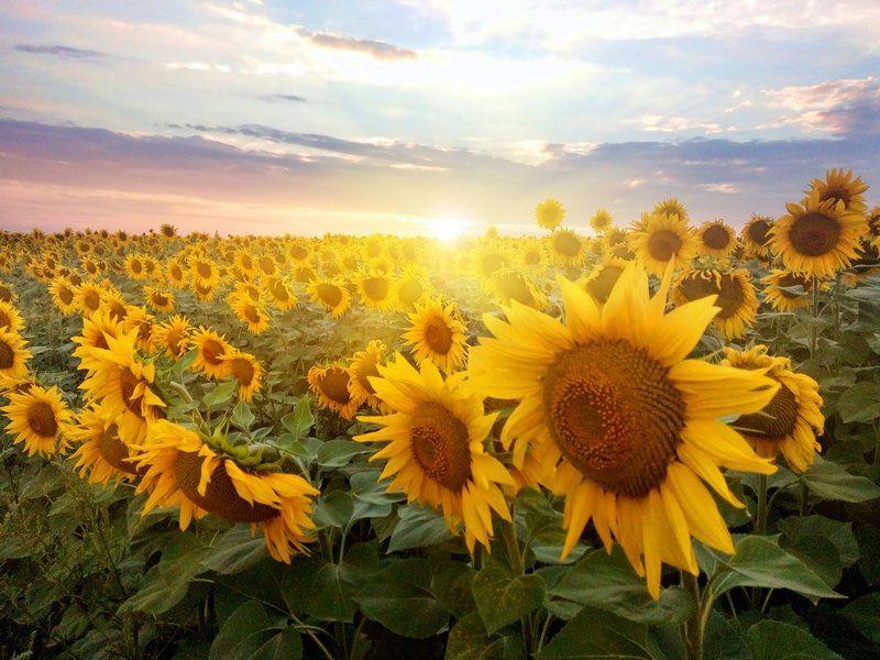 Солнце и подсолнухи...photo preview