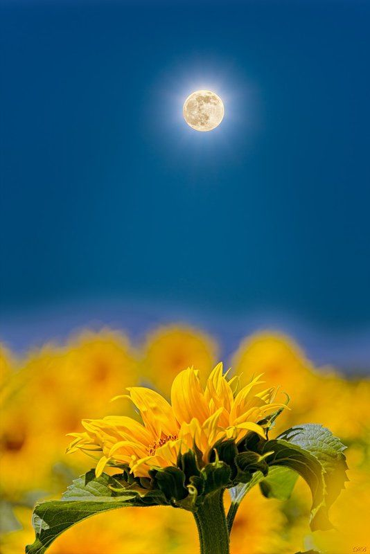 blue, color, colorful, colors, color image, collage, flower, glow, image, moon, nature, natural light, photo collage, photography, sunflower, yellow, Sunflower Talking to the Moonphoto preview