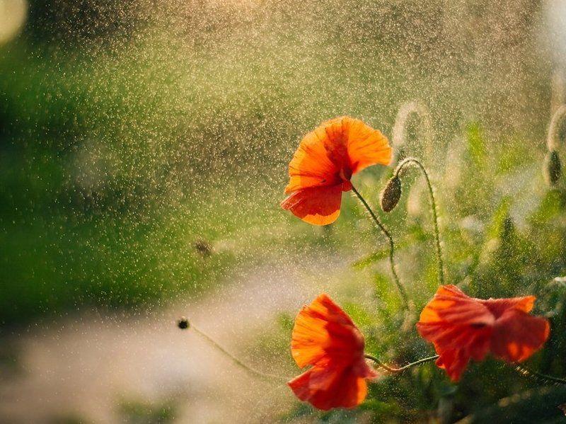 маки, цветы, утро, лето Доброе утро!photo preview