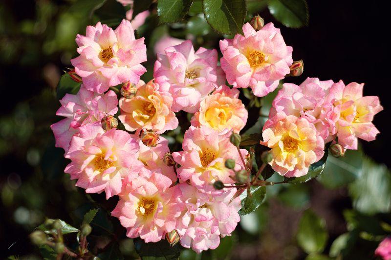 розы Розы Троице Сергиевой лавры.photo preview
