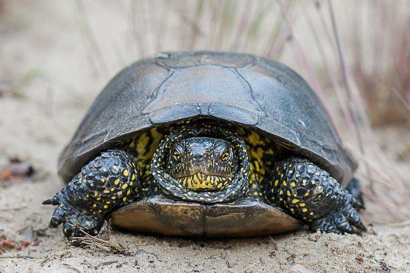 черепаха Болотная черепахаphoto preview