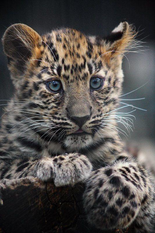 Леопардphoto preview