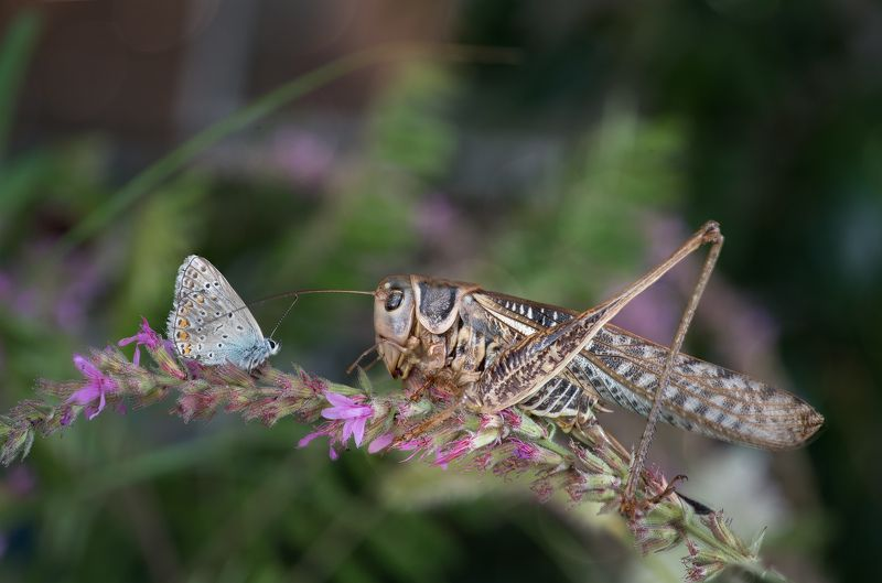 butterfly, Grasshopper, macro Friendly meetingphoto preview