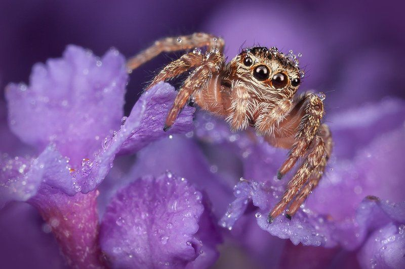 паук скакун, макро, цветы, макро, Королевский пурпурныйphoto preview