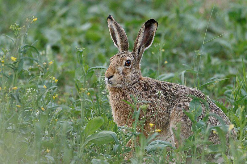 заяц-русак, заяц, hare Любитель свежей зелениphoto preview