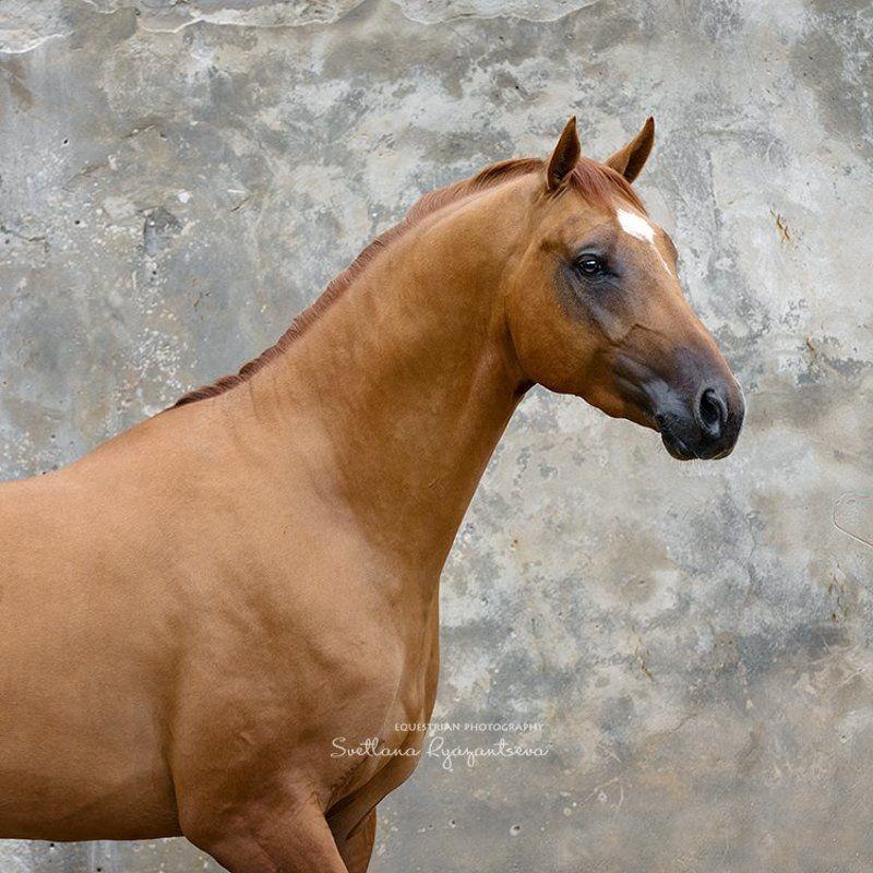 horse, portrait, портрет, лошадь, лошади Искандерphoto preview
