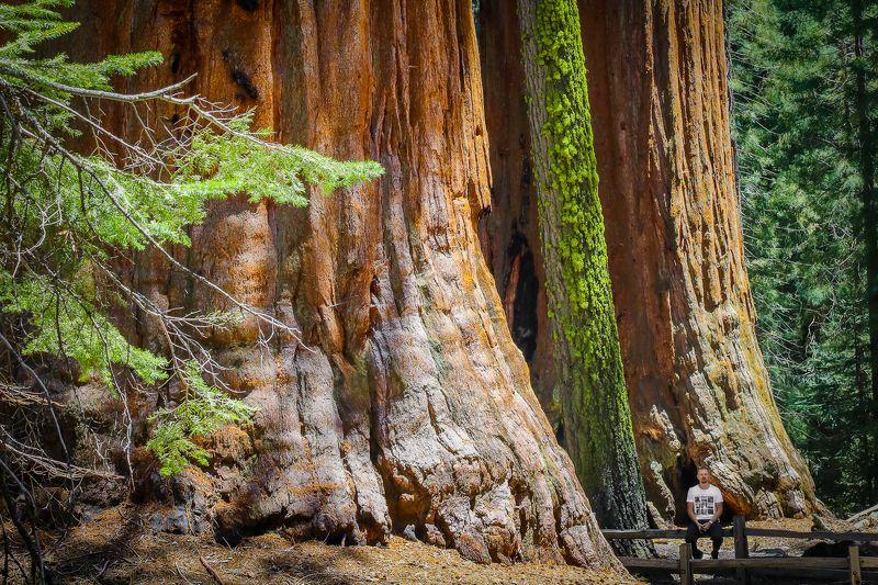 природа, фотография, секвойи, человек, национальный парк секвойя, красота,лес,гиганты Гиганты и микробphoto preview