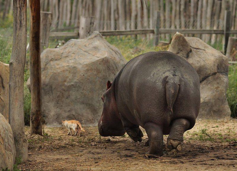 бегемот, кот, животные, зоопарк Иди за мной, Крошкаphoto preview