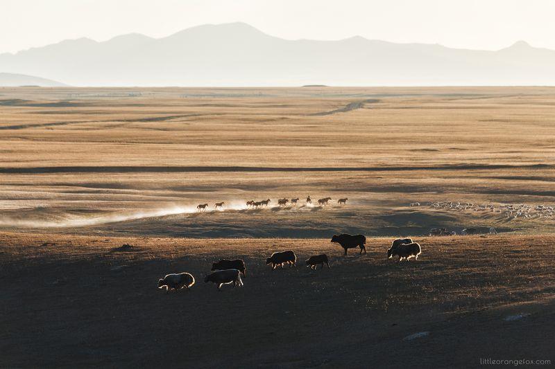 кыргызстан, степь, закат, яки, лошади, природа, пейзаж, контровый свет, холмы В поисках укрытияphoto preview