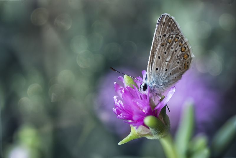Butterfly, dew, purple flower, Butterfly eaarly in the morningphoto preview