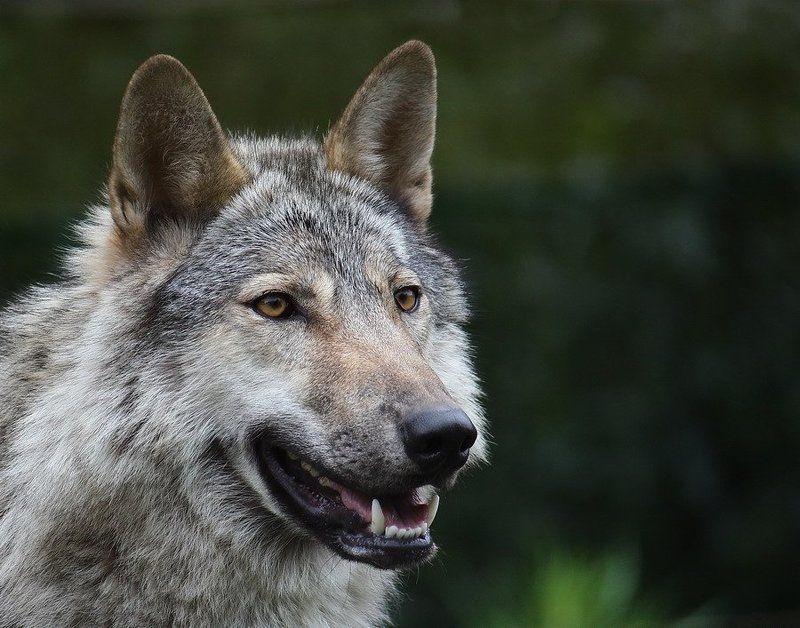 волк, canis, lupus, хищник Волк (Canis lupus)photo preview
