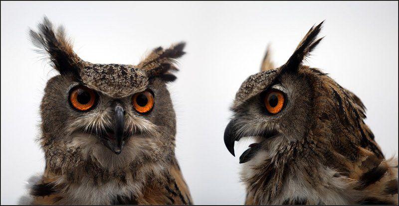 филин, птица, , хорошая Внимание! РОЗЫСК!photo preview