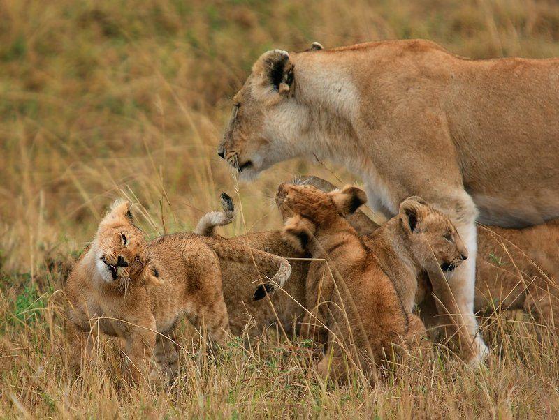 африка, кения, масаи мара, прайд, лев, львы ;-Pphoto preview