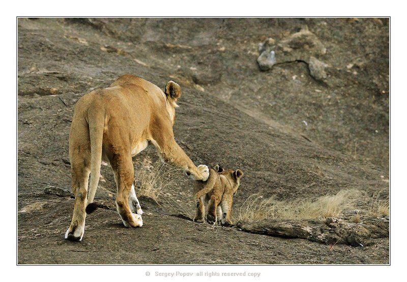 львы, кения, дикая природа, отношения животных, фотография дикой природы Вперед, только вперед, малыш!!!photo preview