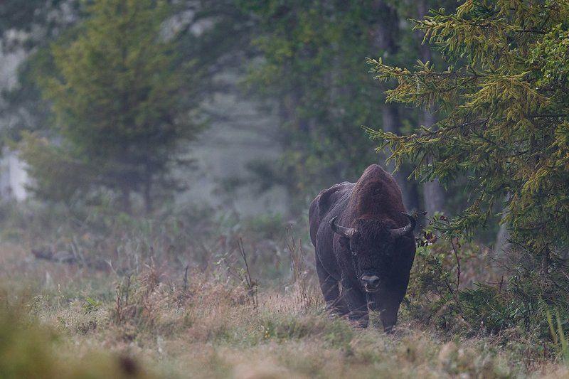 зубр, пуща, bison Хозяин пущиphoto preview