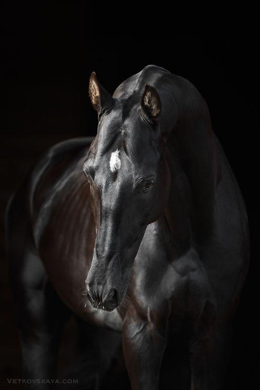 ахалтекинский, жеребец, вороной Черная грацияphoto preview
