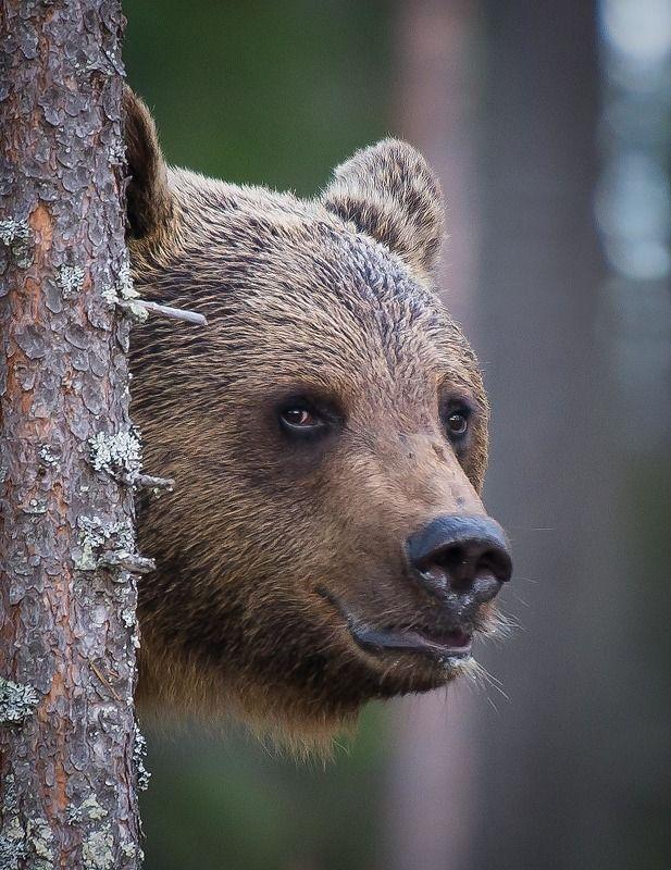 Bear, finland, kuhmo Beary best фото превью