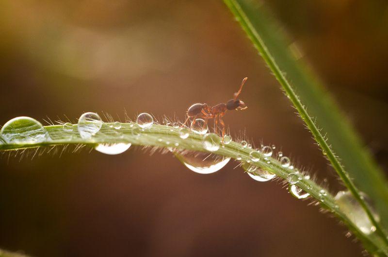 роса, муравей, макро По бриллиантовой тропеphoto preview