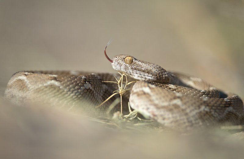 макро, змея, эфа, яд, природа, узбекистан, дикая природа, рептилии, snake, wildlife, nature, macro, uzbekistan, desert, sand Гроза пустынь photo preview