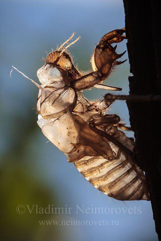 cicada, exuviae, Cicada orni, Krasnodar Territory, Dzhankhot The cicada\'s exuviae (Cicada orni?)photo preview