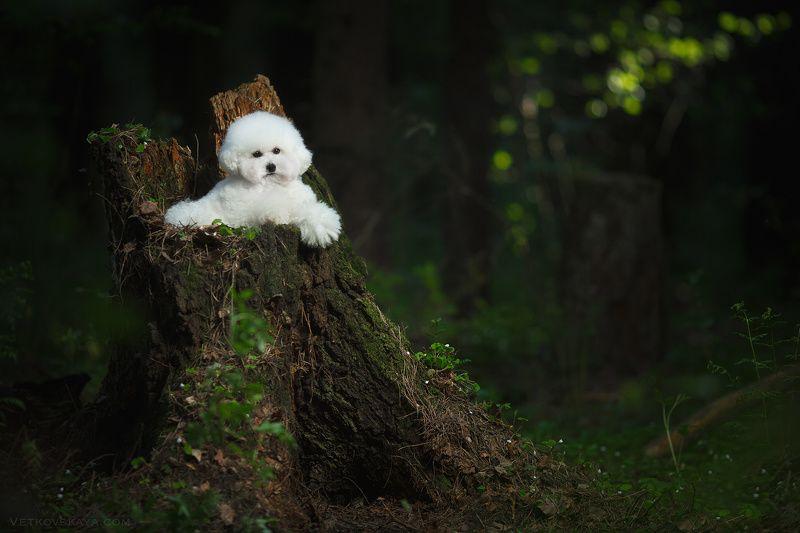 собака, лес, пудель, мох, бишон Белый лешийphoto preview