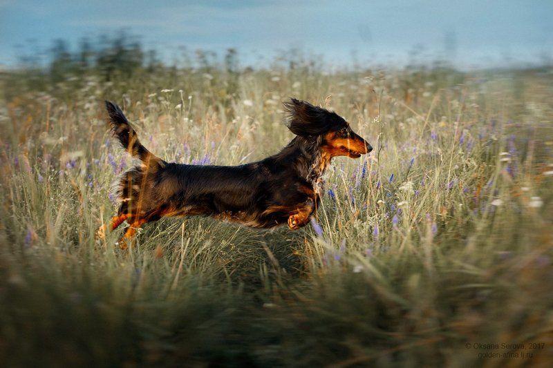 dog, собака, такса, поле, полет, летающая собака The flying dachshundphoto preview