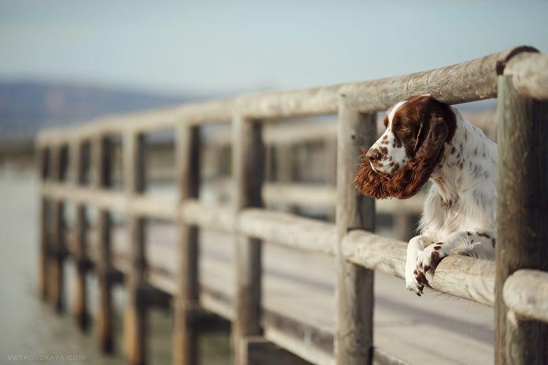 собака, море, мост, спаниель, спрингер ***photo preview