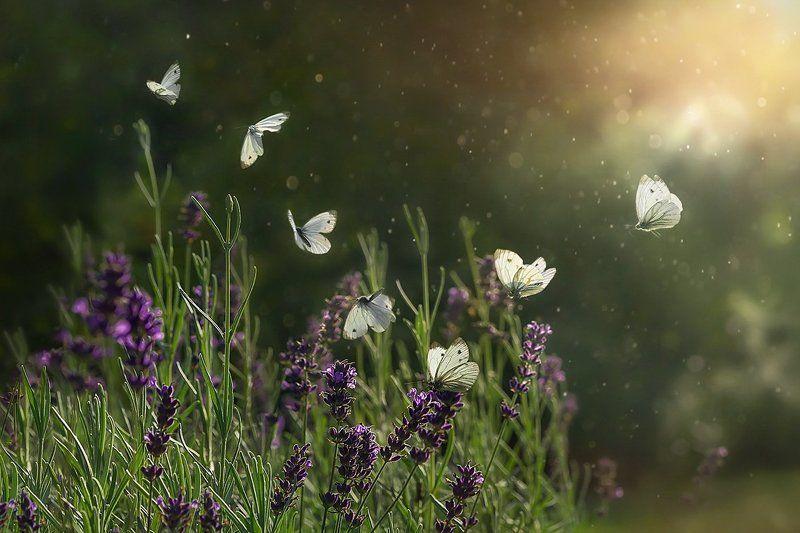 лето, лучи, бабочка, полет бабочки, лаванда, поляна Полет бабочкиphoto preview