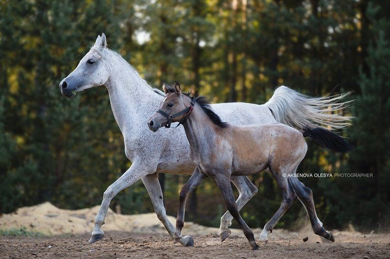 лошадь, арабская лошадь, животные, жеребенок, рысью, галоп, пара Арабские лошадиphoto preview