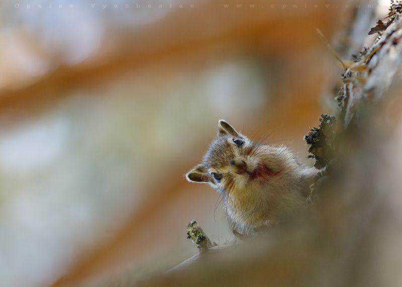 бурундук, природа, грызун, орехи, лес, осень, животные, дикие Встреча с бурундукомphoto preview