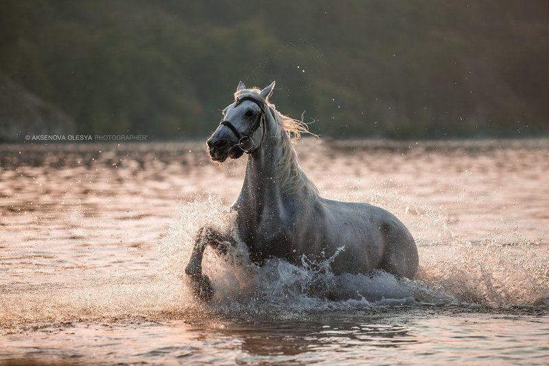 лошадь, вода, брызги, красота, конь, мерин, озеро, галоп, динамика На рассветеphoto preview