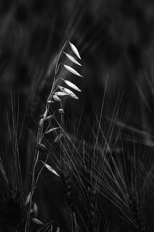 Монохром, растения, злаки, овес, пшеница, черно- белая фотография Чужой среди своихphoto preview