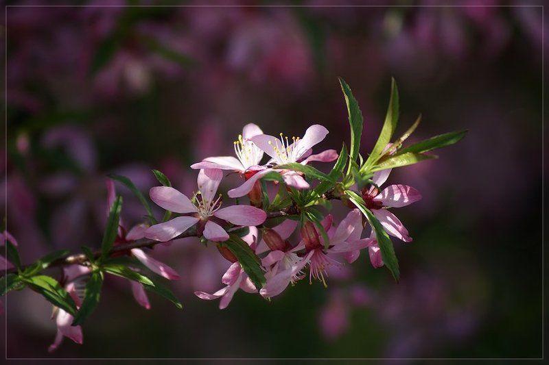 Prunus tenellaphoto preview