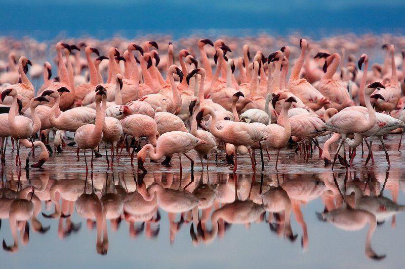 африка, кения, накуру, фламинго Pink Substancephoto preview