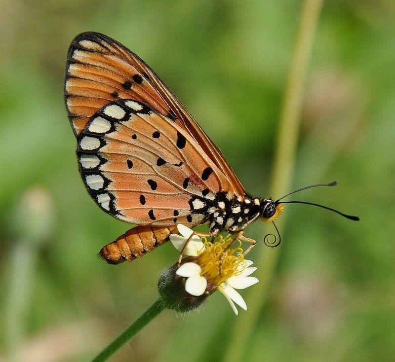 макро,бабочка,нимфалида,nikon 90, Пожалуйста , не улетай !photo preview