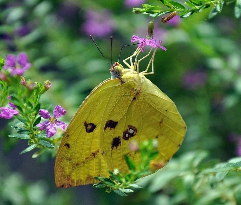макро, бабочка,белянка Акробатка со страховкойphoto preview