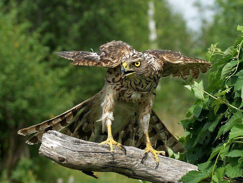 фотоохота, птица, сокол, природа, Зоркийphoto preview
