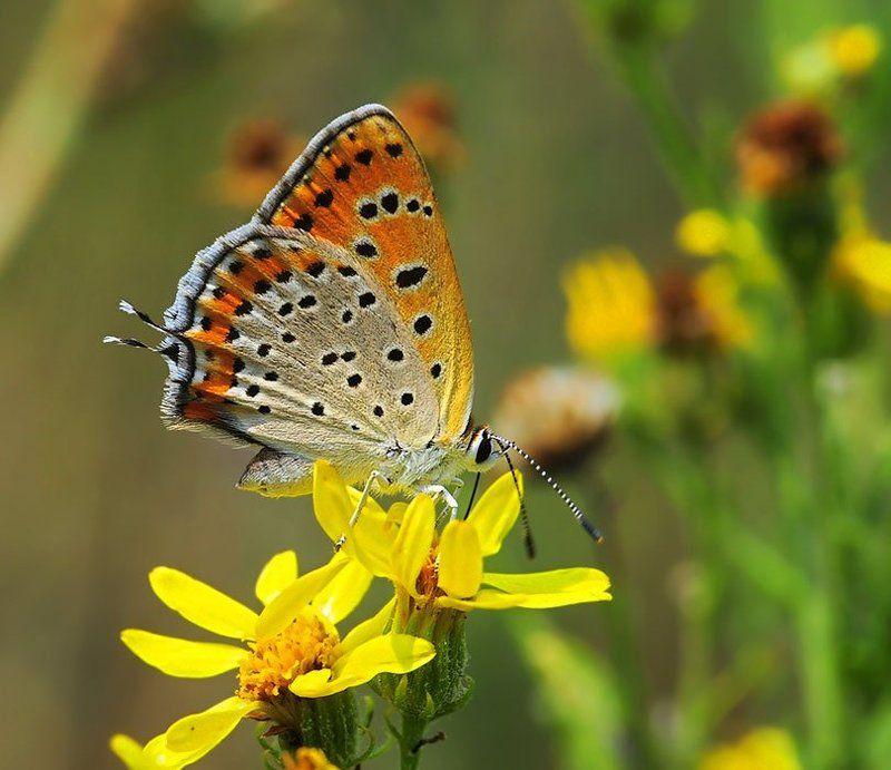 голубянка, lycaena, thersamon Голубянка Lycaena thersamonphoto preview