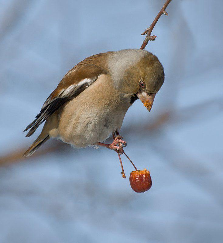 птицы,дубонос,фотоохота Лакомкаphoto preview