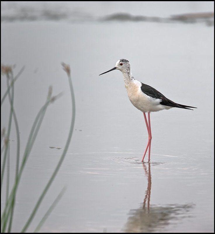 птица,ходулочник,фотоохота Красоткаphoto preview